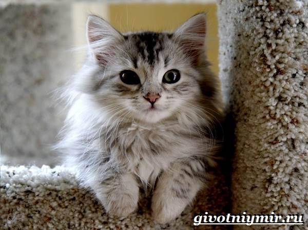 Сибирская-кошка-Описание-особенности-уход-и-цена-сибирской-кошки-7