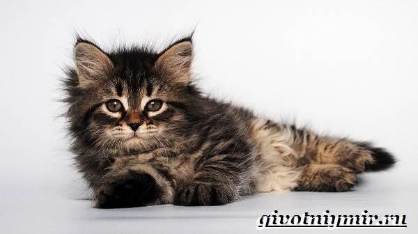 Сибирская-кошка-Описание-особенности-уход-и-цена-сибирской-кошки-8