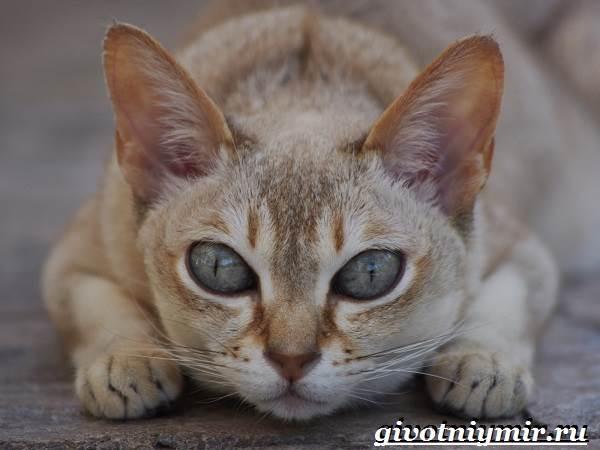 Сингапурская-кошка-Описание-особенности-уход-и-цена-сингапурской-кошки-1