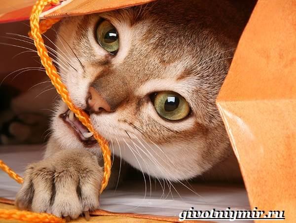 Сингапурская-кошка-Описание-особенности-уход-и-цена-сингапурской-кошки-2
