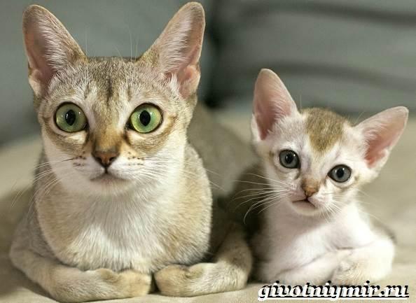 Сингапурская-кошка-Описание-особенности-уход-и-цена-сингапурской-кошки-3