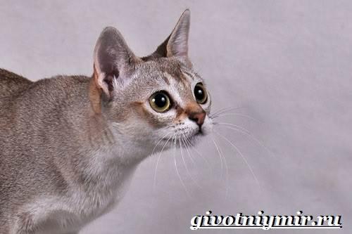 Сингапурская-кошка-Описание-особенности-уход-и-цена-сингапурской-кошки-5