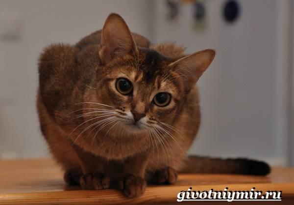 Сингапурская-кошка-Описание-особенности-уход-и-цена-сингапурской-кошки-6