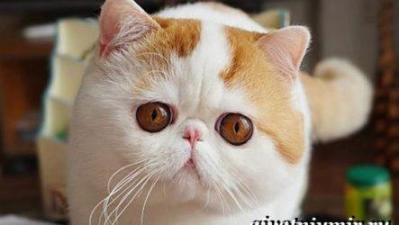 Снупи кошка. Описание, особенности, уход и цена кошки снупи