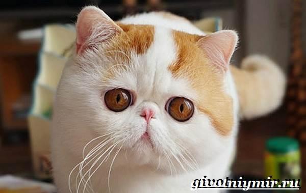 Снупи-кошка-Описание-особенности-уход-и-цена-кошки-снупи-1