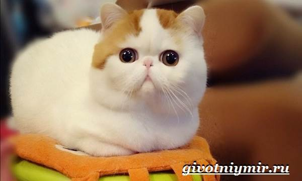 Снупи-кошка-Описание-особенности-уход-и-цена-кошки-снупи-2