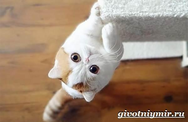 Снупи-кошка-Описание-особенности-уход-и-цена-кошки-снупи-3