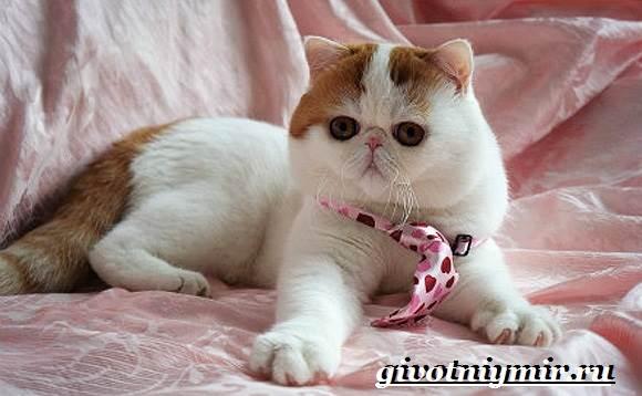 Снупи-кошка-Описание-особенности-уход-и-цена-кошки-снупи-4