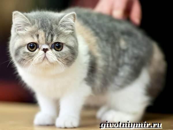 Снупи-кошка-Описание-особенности-уход-и-цена-кошки-снупи-5