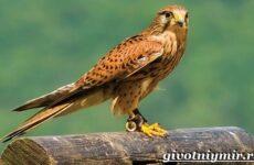 Сокол птица. Образ жизни и среда обитания птицы сокол