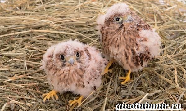 Сокол-птица-Образ-жизни-и-среда-обитания-птицы-сокол-10