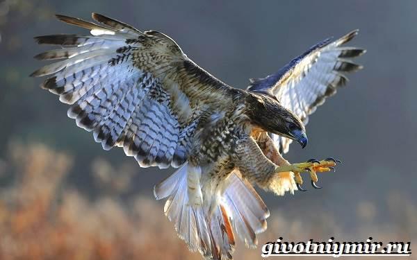 Сокол-птица-Образ-жизни-и-среда-обитания-птицы-сокол-2