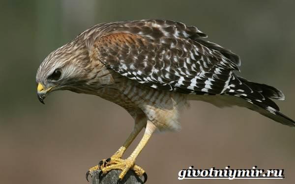 Сокол-птица-Образ-жизни-и-среда-обитания-птицы-сокол-4