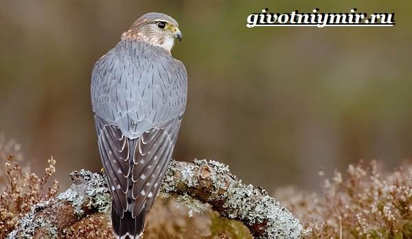 Сокол-птица-Образ-жизни-и-среда-обитания-птицы-сокол-5