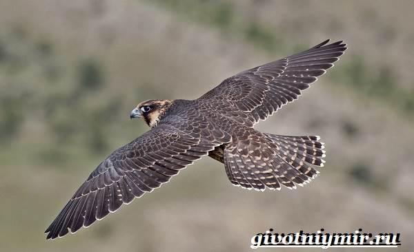 Доклад о птице сокол 3860