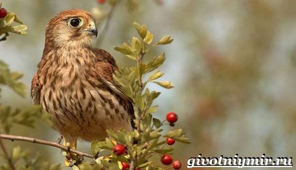 Сокол-птица-Образ-жизни-и-среда-обитания-птицы-сокол-7