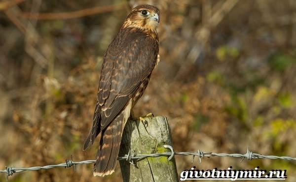 Сокол-птица-Образ-жизни-и-среда-обитания-птицы-сокол-8