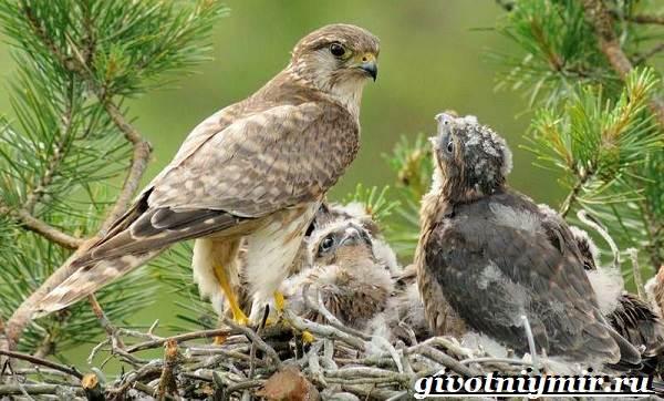 Сокол-птица-Образ-жизни-и-среда-обитания-птицы-сокол-9