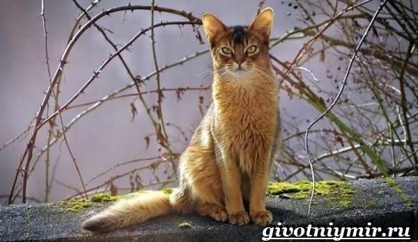 Сомалийская-кошка-Описание-особенности-уход-и-цена-сомалийской-кошки-1