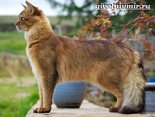 Сомалийская-кошка-Описание-особенности-уход-и-цена-сомалийской-кошки-2