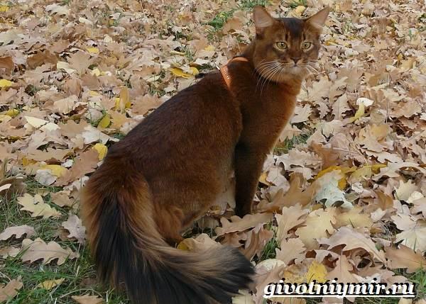 Сомалийская-кошка-Описание-особенности-уход-и-цена-сомалийской-кошки-3