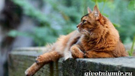 Сомалийская кошка. Описание, особенности, уход и цена сомалийской кошки