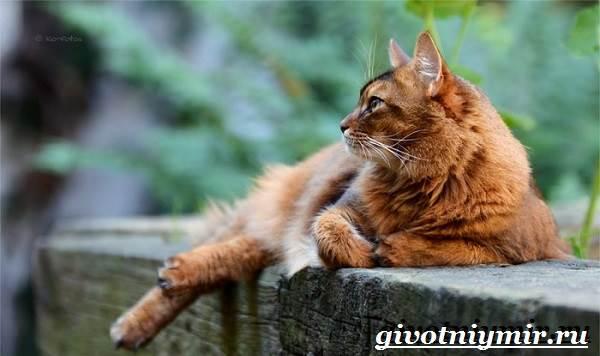 Сомалийская-кошка-Описание-особенности-уход-и-цена-сомалийской-кошки-5