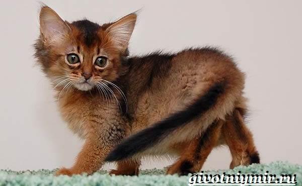 Сомалийская-кошка-Описание-особенности-уход-и-цена-сомалийской-кошки-6