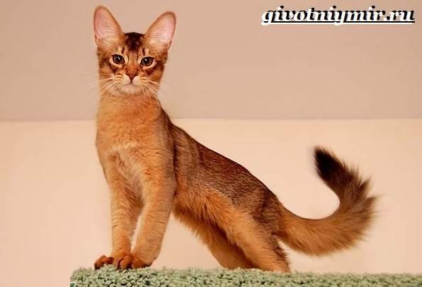 Сомалийская-кошка-Описание-особенности-уход-и-цена-сомалийской-кошки-7