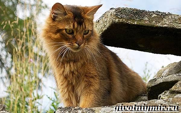 Сомалийская-кошка-Описание-особенности-уход-и-цена-сомалийской-кошки-8