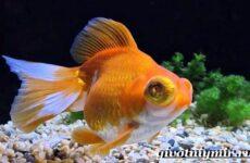 Телескоп рыба. Описание, особенности, уход и цена телескопа