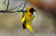 Ткачик птица. Образ жизни и среда обитания птицы ткачик