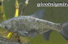 Толстолобик рыба. Образ жизни и среда обитания толстолобика