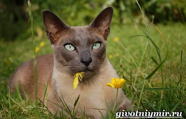 Тонкинская-кошка-Описание-особенности-уход-и-цена-тонкинской-кошки-1