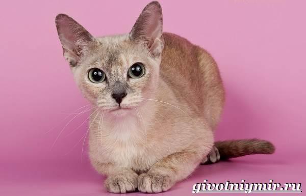 Тонкинская-кошка-Описание-особенности-уход-и-цена-тонкинской-кошки-2