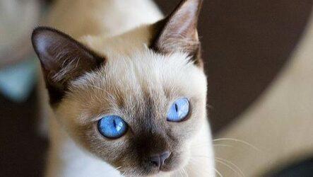 Тонкинская кошка. Описание, особенности, уход и цена тонкинской кошки