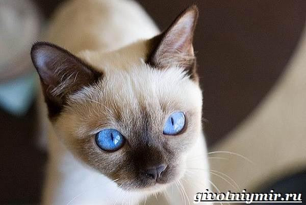 Тонкинская-кошка-Описание-особенности-уход-и-цена-тонкинской-кошки-3