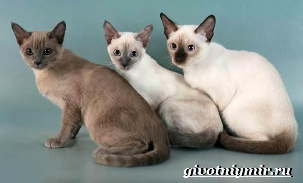 Тонкинская-кошка-Описание-особенности-уход-и-цена-тонкинской-кошки-4