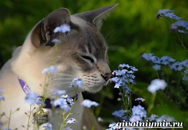 Тонкинская-кошка-Описание-особенности-уход-и-цена-тонкинской-кошки-5