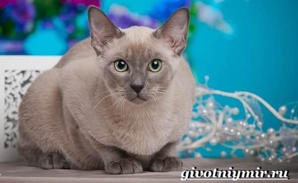 Тонкинская-кошка-Описание-особенности-уход-и-цена-тонкинской-кошки-6