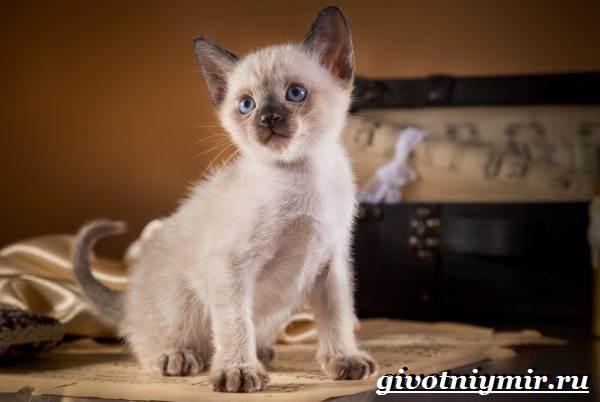 Тонкинская-кошка-Описание-особенности-уход-и-цена-тонкинской-кошки-8
