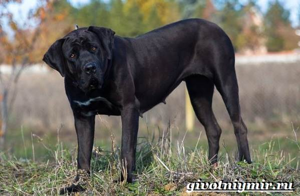 Тоса-ину-собака-Описание-особенности-уход-и-цена-тоса-ину-3