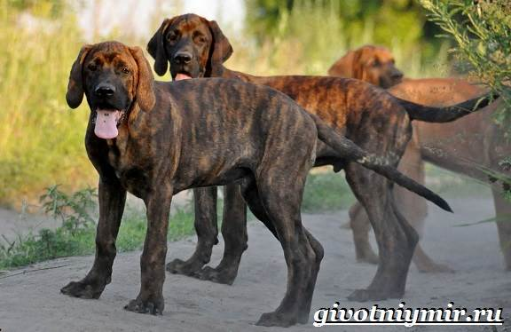 Тоса-ину-собака-Описание-особенности-уход-и-цена-тоса-ину-5