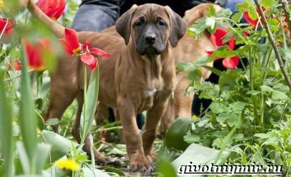Тоса-ину-собака-Описание-особенности-уход-и-цена-тоса-ину-8