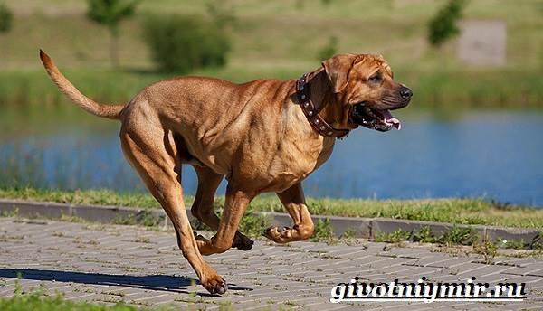 Тоса-ину-собака-Описание-особенности-уход-и-цена-тоса-ину-9