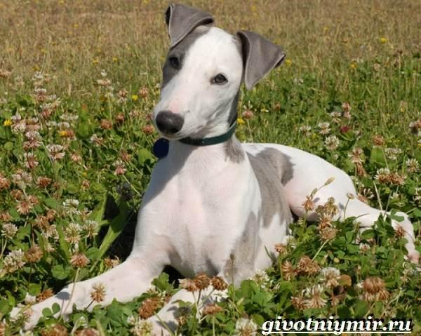 Уиппет-собака-Описание-особенности-уход-и-цена-породы-уиппет-1