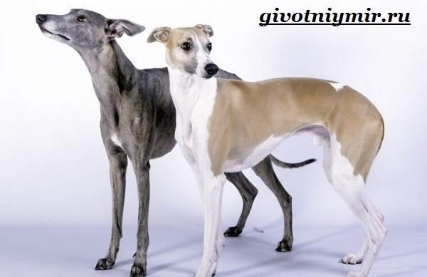 Уиппет-собака-Описание-особенности-уход-и-цена-породы-уиппет-2