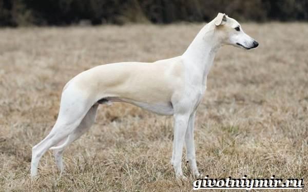 Уиппет-собака-Описание-особенности-уход-и-цена-породы-уиппет-3