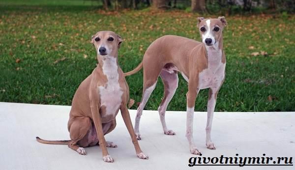 Уиппет-собака-Описание-особенности-уход-и-цена-породы-уиппет-4