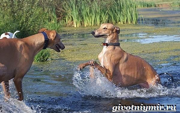 Уиппет-собака-Описание-особенности-уход-и-цена-породы-уиппет-5